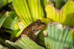 Hidden between leaves (Rico the noob) Tags: dof 300mm nature d500 frog outdoor madeira animal tc14eiii 2017 macro 300mmf4pf published animals eye closeup bokeh reptile