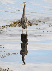 Great Blue Heron with reflection - early morning (Paul Cottis) Tags: bird heron victoria oakbay paulcottis may 2017 19