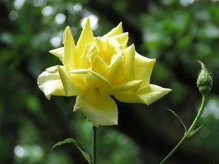 00739034 Rose