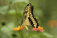 Vlinder (K.Verhulst) Tags: vlinders vlindertuin vlinder butterfly butterflies amazonica blijdorp diergaardeblijdorp rotterdam insect