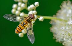 Marmalade hoverfly (Episyrphus balteatus) (tonynorth1) Tags: hoverfly insect macro macrodreams marmaladehoverfly episyrphusbalteatus