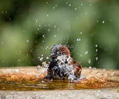 Cooled (Stu thatcher) Tags: bird uk water bath fast shutter speed birds wet splash britain england english worcester worcestershire