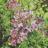 Lilas (alyna16) Tags: flowers lilas spring