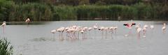Pink Flamingos of the Carmague (ec1jack) Tags: ec1jack kierankelly canoneos600d france provence europe eu june 2017 southoffrance summer pink flamingos camargues camargue pontdegau parcornithologiquedepontdegau bouchesdurhône saintesmariesdelamer