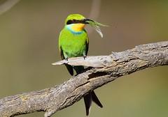 Swallow-tailed Bee-eater (Merops hirundineus) (Ian N. White) Tags: swallowtailedbeeeater meropshirundineus botswana darnawayfarm