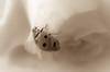 Invitation to climb (babs van beieren) Tags: 7dwf crazeytuesdaytheme fullhouse macro closeup sepia ladybug rose