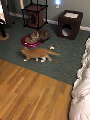 iPhone 3968 (mary2678) Tags: tewksbury massachusetts ma kitty kitten cat maine coon chele kvothe