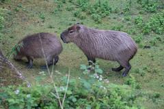 DSC00658 (sylviagreve) Tags: 2017 apenheul capybara apeldoorn gelderland netherlands nl