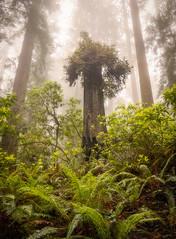 Redwood Stump (optimalfocusphotography) Tags: northerncalifornia california usa landscape nature nationalpark prairiecreekredwoodsstatepark trees fog redwoodnationalpark path woodland mist