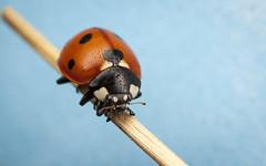 Seven Spot Ladybird (snomanda) Tags: coccinella septempunctata 7spot ladybird ladybug insect invertebrate macro closeup animal nature wildlife entomology ecology bug beetle