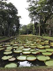 Giant water-lillies at SSR Botanic Garden (Seabagg) Tags: victoriaamazonica waterlillies ssrbotanicgardens mauritius