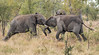 Rumble in the jungle (dunderdan77) Tags: elephant animal outdoor wildlife safari kruger national park nikon tamron south africa specanimal