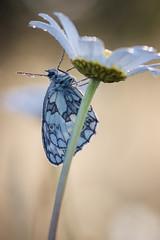 NAW-8283 (Nawred85) Tags: animaux insectes lagarnache localisation lépidoptères nature papillon printemps saison sauvages