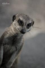 Meerkat Portrait (Karen Miller Photography) Tags: zoo edinburghzoo captivity captive edinburgh meerkat animal nikon rzss scotland enclosures karenmillerphotography