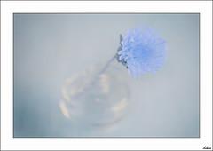 Esencia azul (V- strom) Tags: azul blue bodegón stilllife cristal glass flor flower pétalo petals nikon nikon105mm nikon50mm nikon2470 dientedeleón dandelion texturas textures detalles details naturaleza naturalezamuerta nature flora