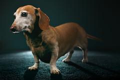 in the studio... again (Marm O. Set) Tags: dog dachshund doxie dogportrait pet petportrait weinerdog studio strobe strobes strobist flash flashes offcameraflash ocf softbox lighting bare yongnuo yongnuoyn560iii yongnuoyn560tx transmitter transceivers