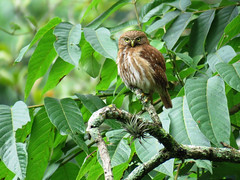 FEPO_2017 (Surfishrink) Tags: ferruginouspygmyowl fincaelpilar guatemala antigua centralamerica fauna bird owl small glaucidiumbrasilianum