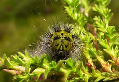 Green and Hairy..x (Lisa@Lethen) Tags: caterpillar nature wildlife insect outdoor heather macro larvae emperor