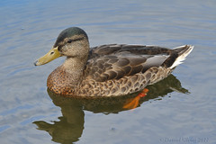 Moving out of eclipse plumage? (danielusescanon) Tags: wild animal bird duck water swimming eclipse mallard anasplatyrhynchos anseriformes anatidae westchesterlagoon anchorage alaska birdperfect plumage male drake