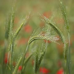 Raindrops on Barley (Damian_Ward) Tags: damianward ©damianward green barley field countryside rural fields buckinghamshire bucks poppies poppy raindrops