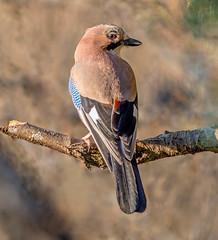 DSC6892  Jay... (jefflack Wildlife&Nature) Tags: jay jays countryside corvids birds avian animal wildlife wildbirds woodlands farmland copse hedgerows nature