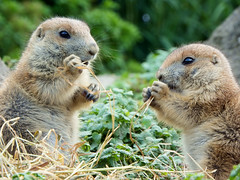 Prairie dogs (STEHOUWER AND RECIO) Tags: prairie dogs prairiedogs prairiehondjes cynomis eating portrait animal animals fauna auna dier cute funny sweet lovely loveliness cuteness herbivour rodent social beauty beautiful hayop nature natuur face green fur furrycloseup portret eyes nose prairedog rodents knaagdier knaagdieren
