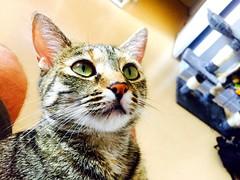 Regarder toujours devant.. Capie (fourmi_7) Tags: chat animal compagnie regard yeux vert