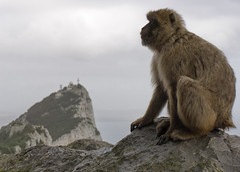 Barbary macaque Gibraltar Mountain top (aaronevans4) Tags: monkey barbaryape barbarymacaque gibraltar