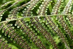 Fern spores (gailhampshire) Tags: fern spores