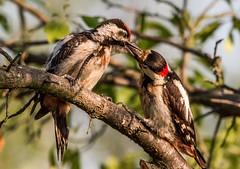 Syrian Woodpecker (quinnandy163) Tags: hungary wildbirdsnikond810 sigma150600mmsport woodpecker hungarobirds phototours