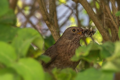 A blackbird brings the dinner (tom22_allgaeu) Tags: amsel tiere vögel blackbird bird animal natur nature wildlife