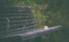 ~~untitled~~ (MontanaRoots (aka Craig)) Tags: faded flower daisy bench park vintage nostalgic melancholy texture zeiss canon markiv solitude quiet alone romantic