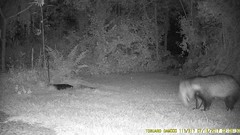 TrailCam357 (ohange2008) Tags: trailcam essexgarden july dogfood peanuts badger cat