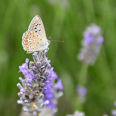(Rouna0668) Tags: tagfalter wiese fleur insecte lavande outdoors papillon nature butterfly flower
