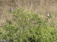 P1150909 Zimbabwe (18) (archaeologist_d) Tags: zimbabwe stanleylivingstonesafarilodge lilacbreastedroller africa southernafrica safari