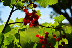 Red currant (vibeke2620) Tags: redcurrant berries ribs bær macro outdoor nikond3300 summer sommer fruit frugt ribsbuske