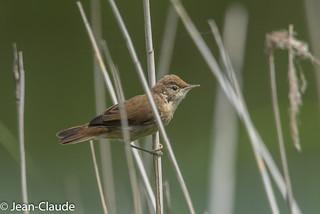 Acrocephalus scirpaceus - Reed Warbler
