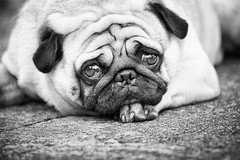 melancholy (photoksenia) Tags: street pug dog pet monochrome blackandwhite bw