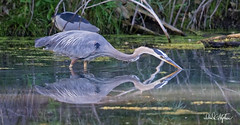 "Heron On The Hunt (dcstep) Tags: aurora colorado unitedstates us n7a4138dxo handheld canon5dmkiv ef500mmf4lisii allrightsreserved copyright2017davidcstephens dxoopticspro114 ""cherry creek state park"" pond reflection greatblueheron heron sunrays5"