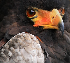 Closer than Close.. (A.J.Pendleton-Lightbox 2008 (On and Off)) Tags: bateleur bird raptor wildlife nature wild closeup