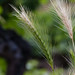Grashalme - Leaves of grass