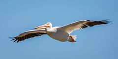 Soaring Pelican (jeff_a_goldberg) Tags: americanwhitepelican wildlife nature bird birdinflight bif wisconsin pelecanuserythrorhynchos manitowocharbor lakemichigan manitowoc unitedstates us