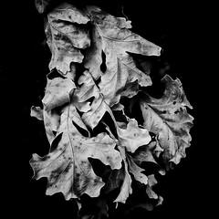 Summer Leaves (alhawley) Tags: bw smctakumar50mmf14 blackandwhite fujifilmxt10 highcontrast leaves lowkey manualexposure manualfocus minimal monochrome stilllife takumar mtrej