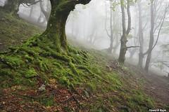 Las raices verdes. (Howard P. Kepa) Tags: paisvasco euskadi anboto urkiola monte hayas niebla raices arboles musgo verano