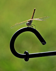 Afternoon break (mariposa lily) Tags: dragonflies break afternoonbreak insect insects dragonfly bug bugs nikon nikond3300 d3300
