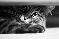 Hide and seek (raffaella.rinaldi) Tags: glance eyes look cat catlife play hunt hide seek monochrome blackandwhite animal catlover