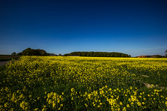 Rapeseed Field (betadecay2000) Tags: rapeseed field billerbeck germany 15052015 rapsfeld deutschland pflanze landschaft feld outdoor ackersenf raps gelb yellow plant pflanzen blüten blüte flower flowers countryside country landwirtschaft balu blau blue himmel sky sonnig