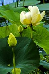 Green Bottom Lotus (jmhutnik) Tags: lotus greenbottomwildlifemanagementarea flower yellow bud water westvirginia lesage cabellcounty lilypads