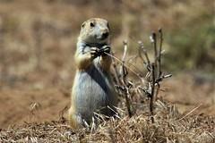 Cute Prairie Dog 1 (Jan Nagalski) Tags: rodent groundsquirrel prairiedog cute rockymountainnationalwildliferefuge denver colorado commercecity nature wildlife jannagalski jannagal