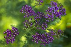 The Summer Fairy's flower jungle (lkiraly72) Tags: achilleamillefolium flower flowerjungle plant dof summer fairy shallowdof